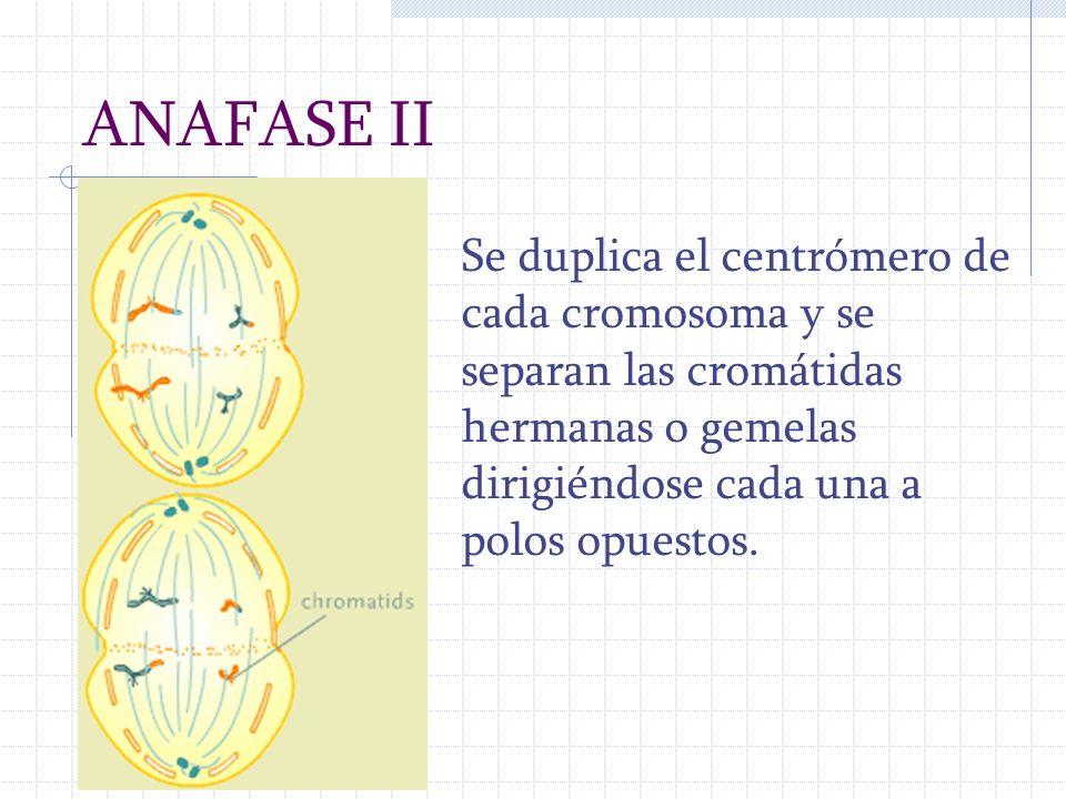 ANAFASE II Se duplica el centrómero de cada cromosoma y se separan las cromátidas hermanas o gemelas dirigiéndose cada una a polos opuestos.