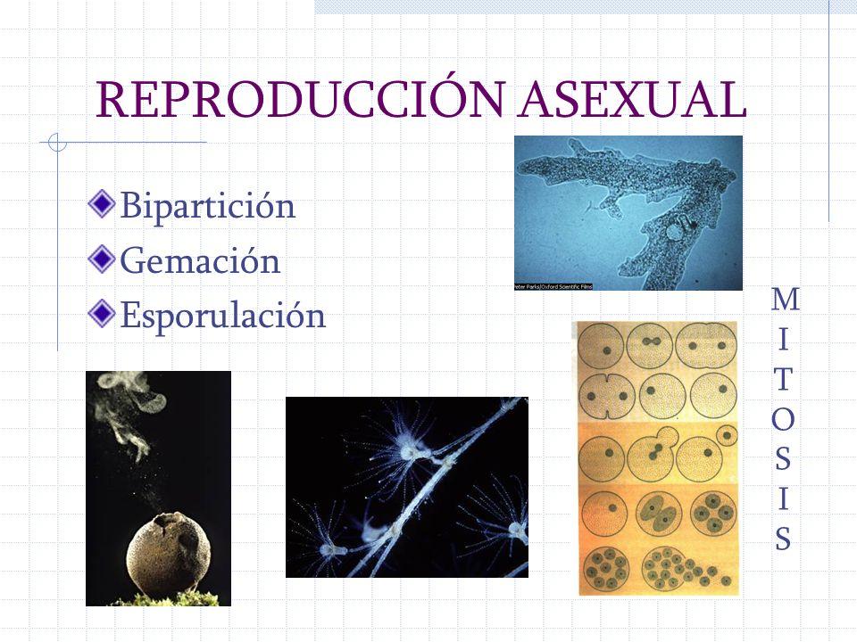 REPRODUCCIÓN ASEXUAL Bipartición Gemación Esporulación MITOSISMITOSIS