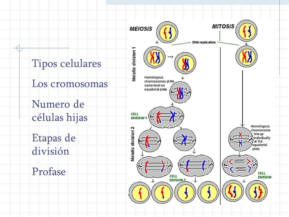 Tipos celulares Los cromosomas Numero de células hijas Etapas de división Profase