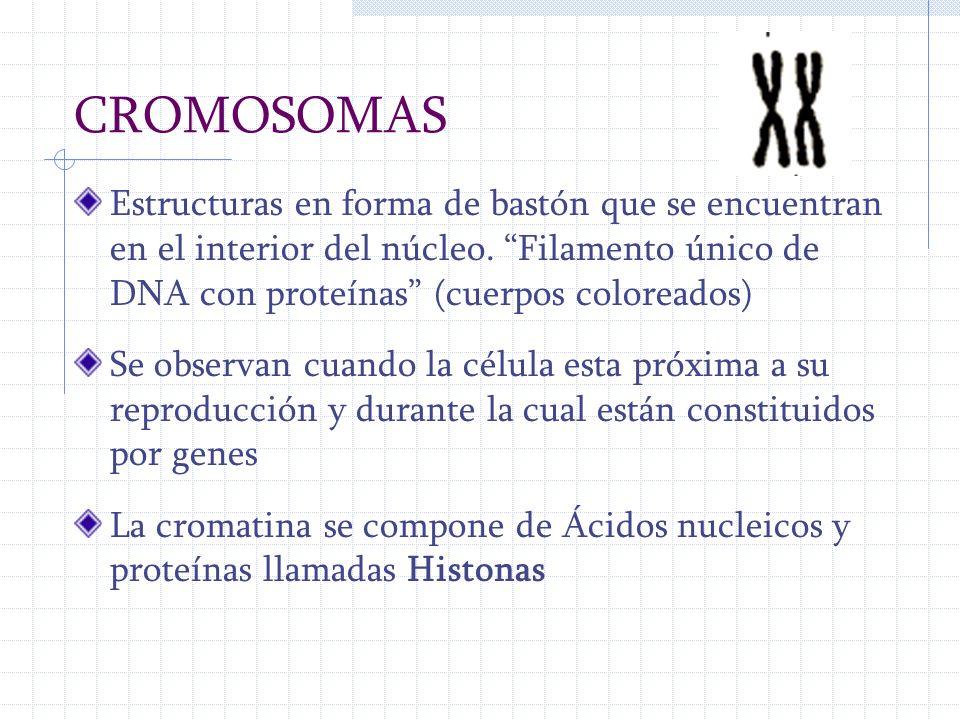 CROMOSOMAS Estructuras en forma de bastón que se encuentran en el interior del núcleo. Filamento único de DNA con proteínas (cuerpos coloreados) Se ob