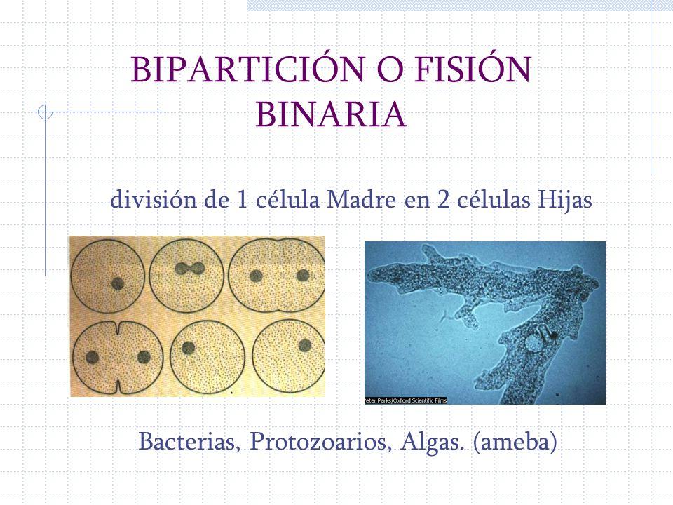 división de 1 célula Madre en 2 células Hijas Bacterias, Protozoarios, Algas. (ameba) BIPARTICIÓN O FISIÓN BINARIA