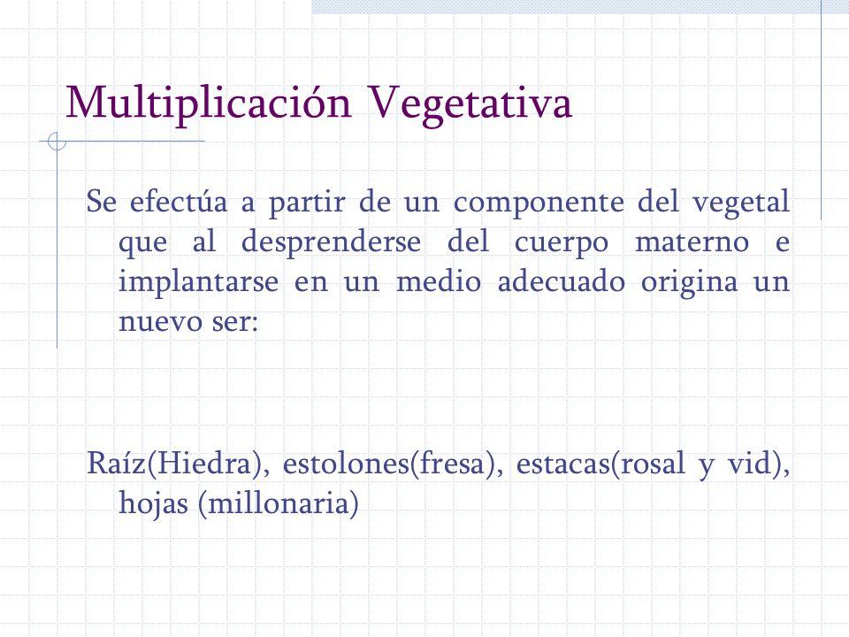 Multiplicación Vegetativa Se efectúa a partir de un componente del vegetal que al desprenderse del cuerpo materno e implantarse en un medio adecuado o