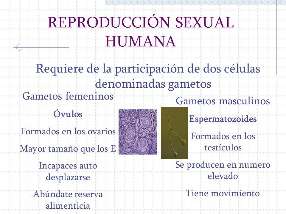 REPRODUCCIÓN SEXUAL HUMANA Requiere de la participación de dos células denominadas gametos Gametos masculinos Espermatozoides Formados en los testícul