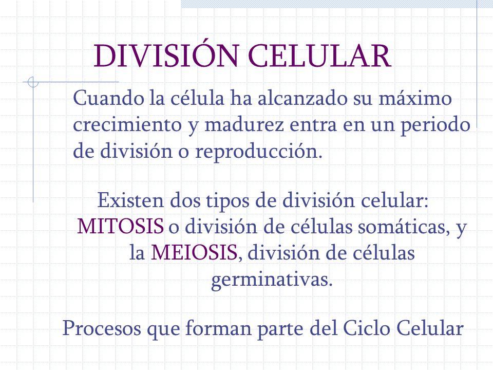 CICLO CELULAR Comprende dos etapas: Mitosis: Cariocinesis (división del núcleo que comprende Profase, Metafase, Anafase) y Citocinesis (división del citoplasma que comprende Telofase) Interfase:Entre dos fases de mitosis se divide en: G1(intervalo 1) Crecimiento celular S (Síntesis) Replicación del DNA G2 (Intervalo 2) Aumenta síntesis de proteínas que se utilizaran en la mitosis
