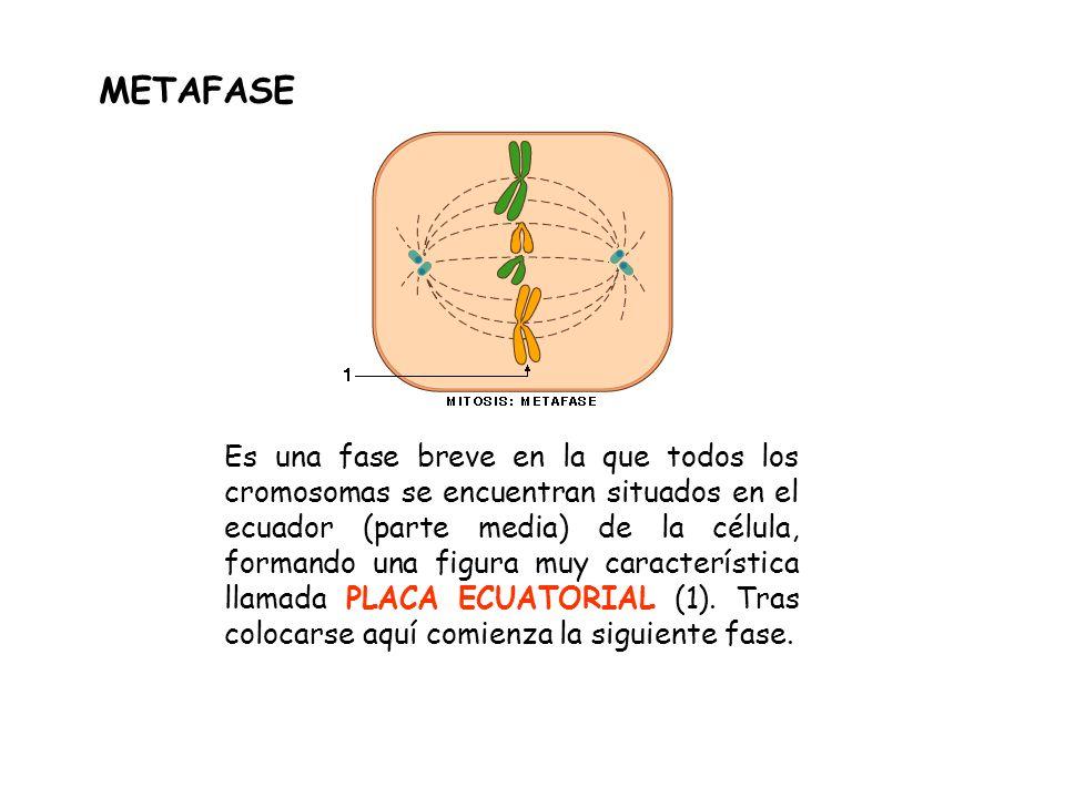 Es una fase breve en la que todos los cromosomas se encuentran situados en el ecuador (parte media) de la célula, formando una figura muy característi