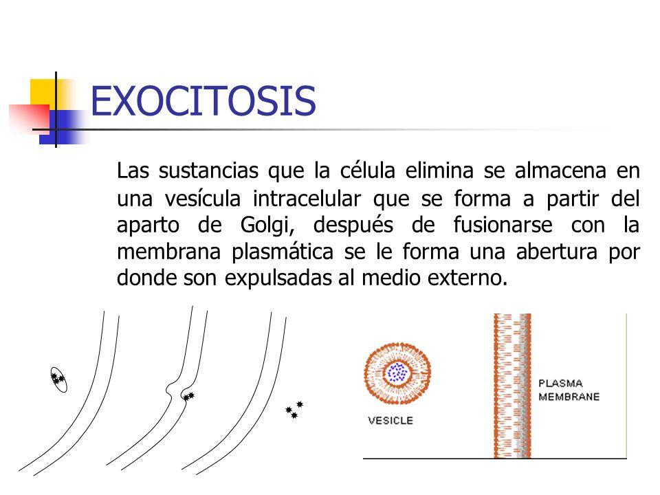EXOCITOSIS Las sustancias que la célula elimina se almacena en una vesícula intracelular que se forma a partir del aparto de Golgi, después de fusionarse con la membrana plasmática se le forma una abertura por donde son expulsadas al medio externo.