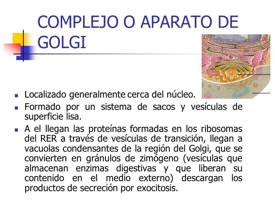 COMPLEJO O APARATO DE GOLGI Localizado generalmente cerca del núcleo.