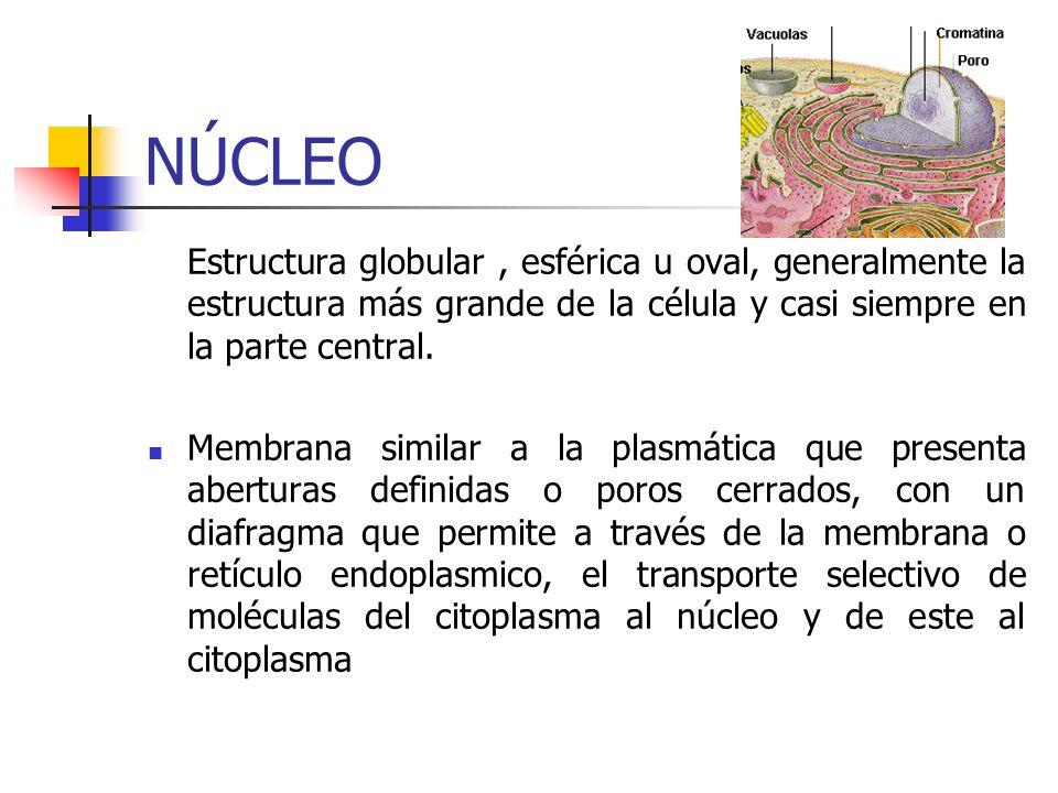 NÚCLEO Estructura globular, esférica u oval, generalmente la estructura más grande de la célula y casi siempre en la parte central.