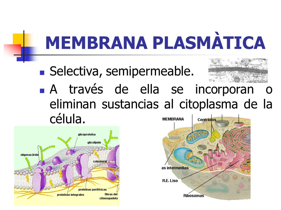 MEMBRANA PLASMÀTICA Selectiva, semipermeable.