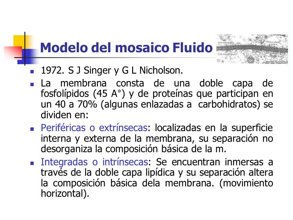 Modelo del mosaico Fluido 1972.S J Singer y G L Nicholson.