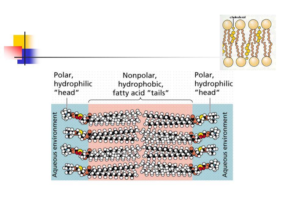 LISOSOMAS Organelos que contienen enzimas digestivas.