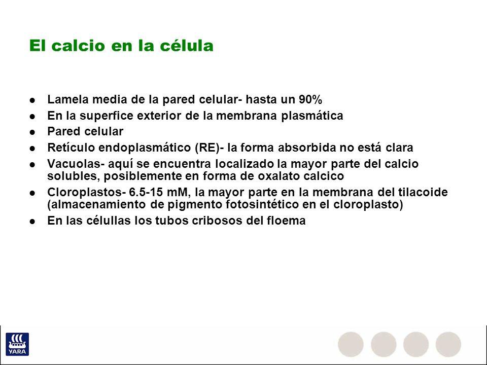 El calcio en la célula Lamela media de la pared celular- hasta un 90% En la superfice exterior de la membrana plasmática Pared celular Retículo endopl
