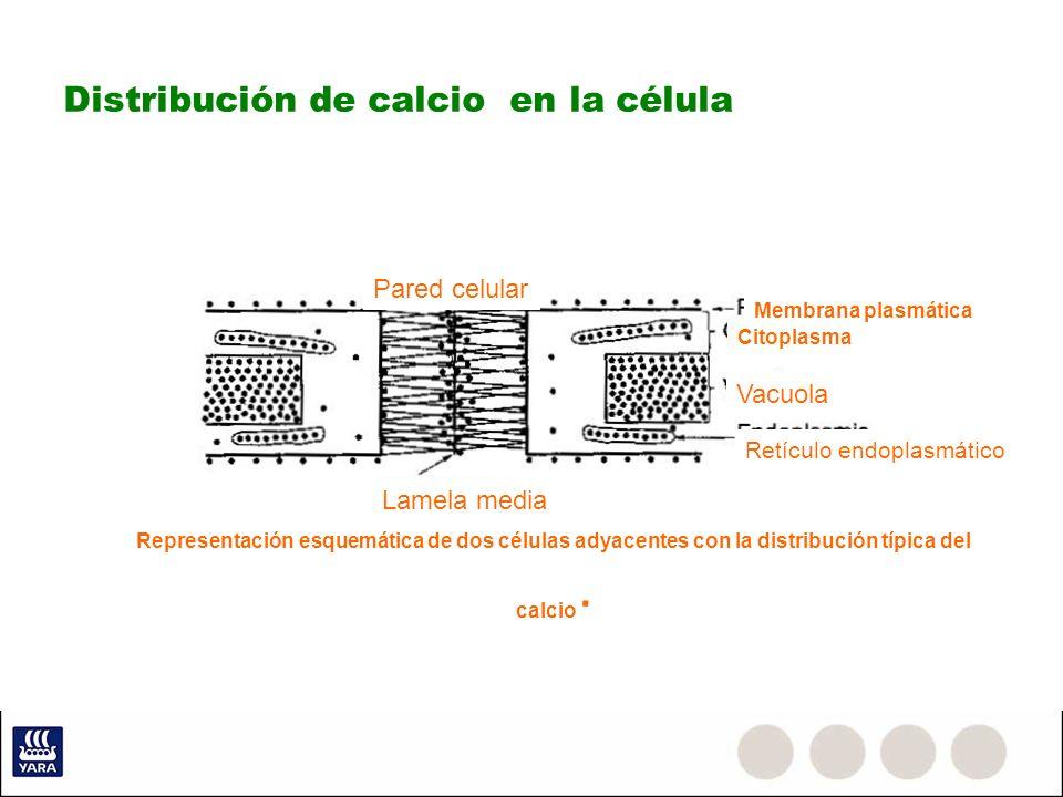 Distribución de calcio en la célula Lamela media Representación esquemática de dos células adyacentes con la distribución típica del calcio · Pared ce