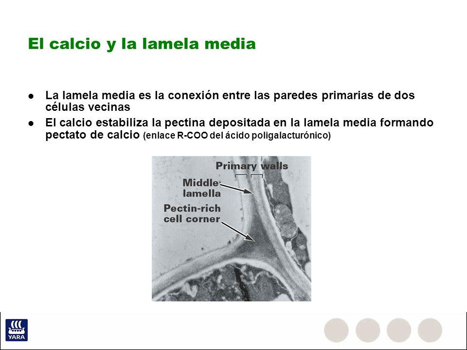 Absorción del calcio Se realiza en las raíces jóvenes Absorción activa y pasiva Selectividad de la membrana Siguiendo el flujo del agua Vía simplasto: Atravesando la célula Posibiles reacciones en citoplasma que lo dejen inmovilizado Vía apoplasto: espacio intercelular Preferente hasta la formación de la banda de Caspari en las células de las raíces