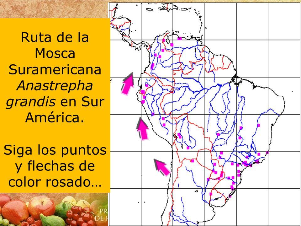 Ruta de la Mosca Suramericana Anastrepha grandis en Sur América. Siga los puntos y flechas de color rosado…