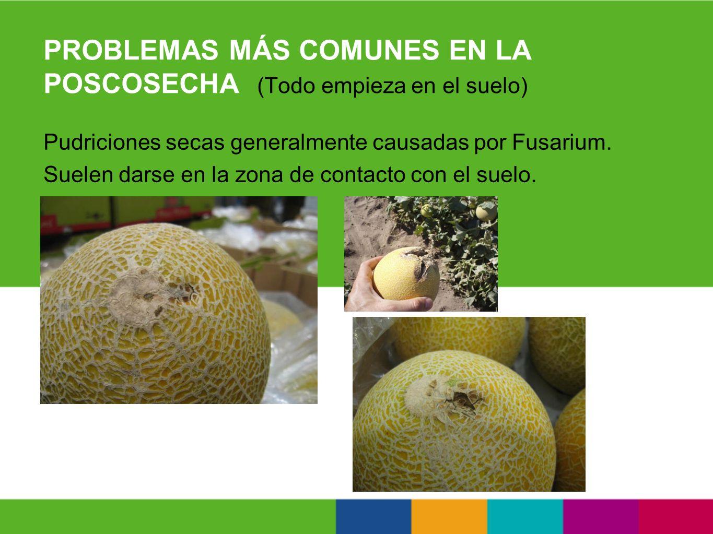 PROBLEMAS MÁS COMUNES EN LA POSCOSECHA (Todo empieza en el suelo) Pudriciones secas generalmente causadas por Fusarium. Suelen darse en la zona de con