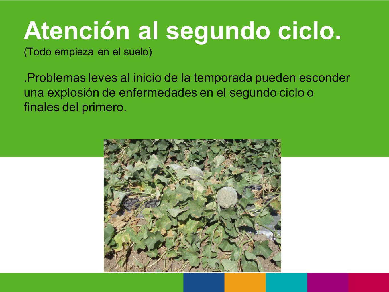 PROBLEMAS MÁS COMUNES EN LA POSCOSECHA (Todo empieza en el suelo) Hongos tipo Penicillium con micelio blanco.