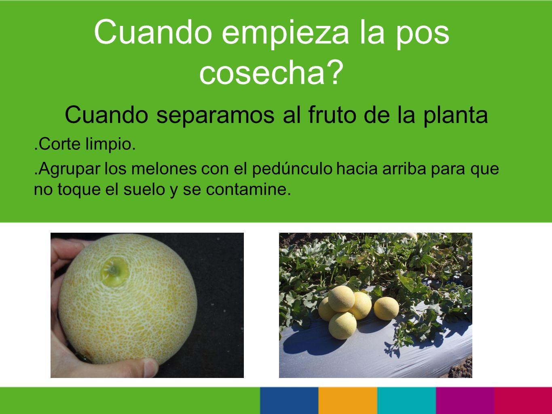 Cuando empieza la pos cosecha? Cuando separamos al fruto de la planta.Corte limpio..Agrupar los melones con el pedúnculo hacia arriba para que no toqu
