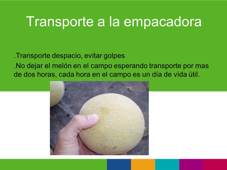 Transporte a la empacadora.Transporte despacio, evitar golpes.No dejar el melón en el campo esperando transporte por mas de dos horas, cada hora en el