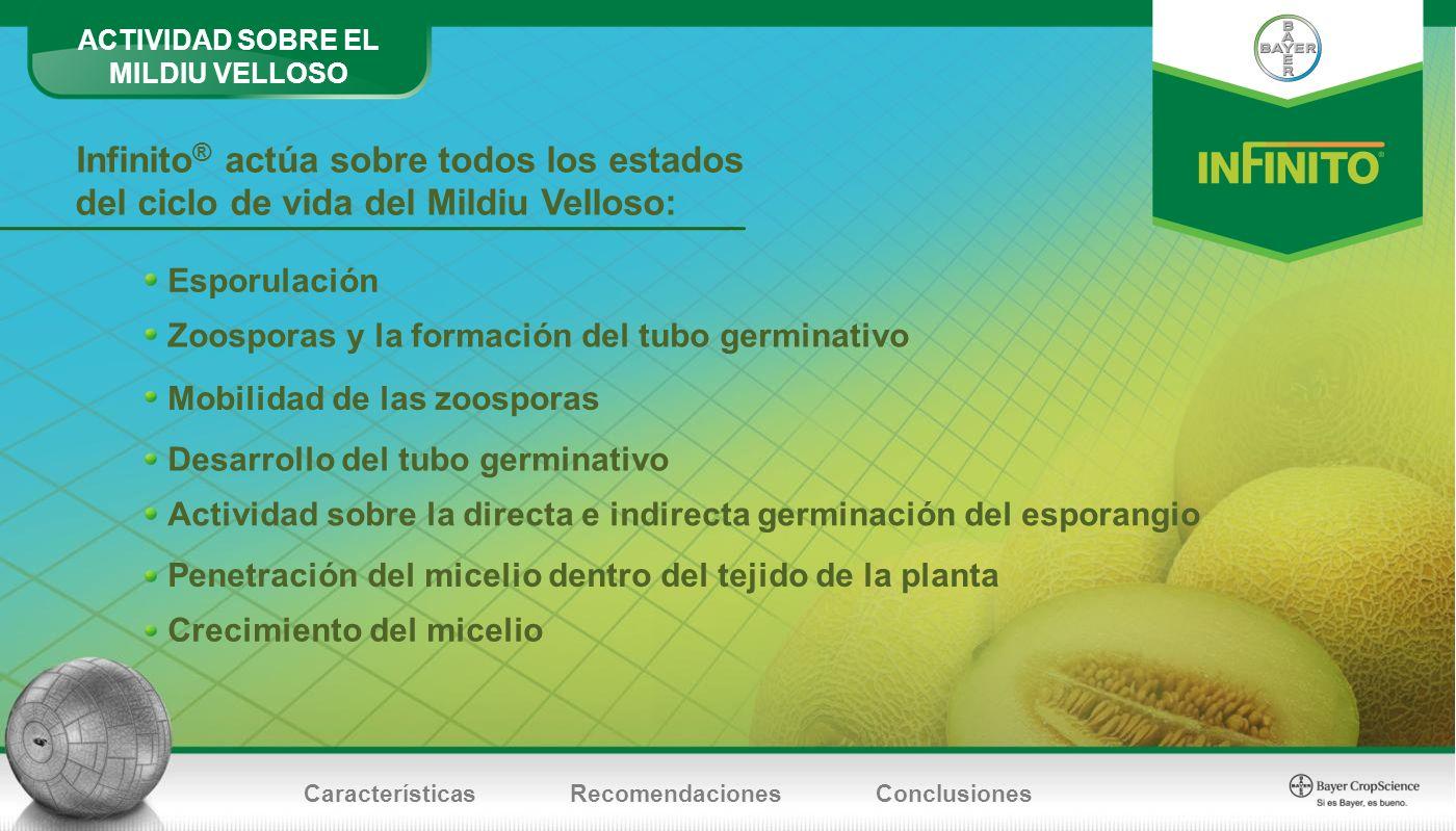 Esporulación Infinito ® actúa sobre todos los estados del ciclo de vida del Mildiu Velloso: Zoosporas y la formación del tubo germinativo Mobilidad de