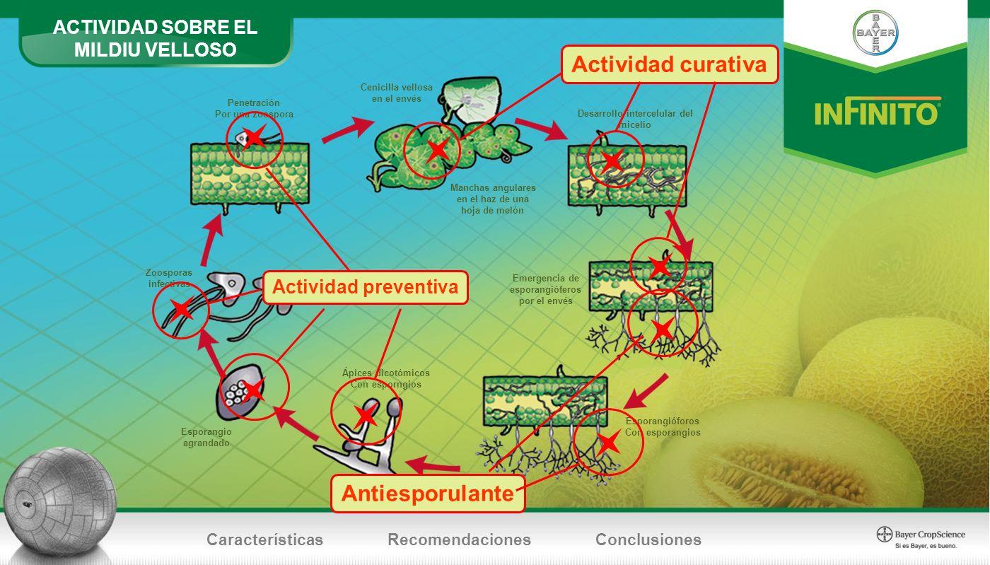 Penetración Por una zoospora Cenicilla vellosa en el envés Desarrollo intercelular del micelio Manchas angulares en el haz de una hoja de melón Emerge
