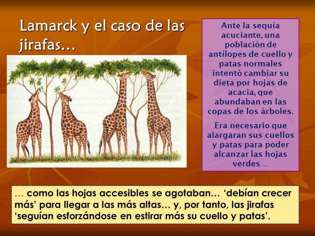 Lamarck y el caso de las jirafas… Ante la sequía acuciante, una población de antílopes de cuello y patas normales intentó cambiar su dieta por hojas de acacia, que abundaban en las copas de los árboles.