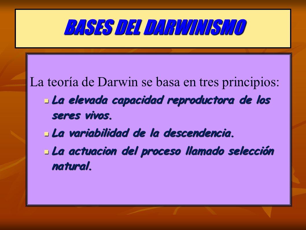 BASES DEL DARWINISMO La teoría de Darwin se basa en tres principios: La elevada capacidad reproductora de los seres vivos.