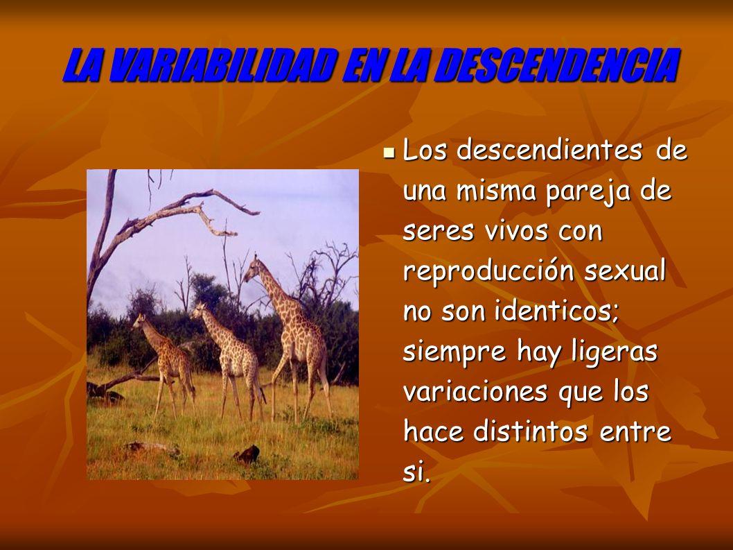 LA VARIABILIDAD EN LA DESCENDENCIA Los descendientes de una misma pareja de seres vivos con reproducción sexual no son identicos; siempre hay ligeras variaciones que los hace distintos entre si.