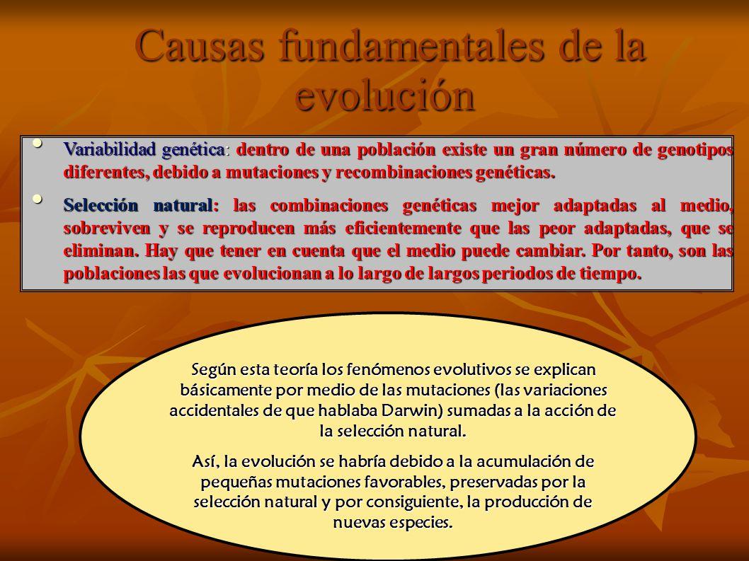 Causas fundamentales de la evolución Causas fundamentales de la evolución Variabilidad genética: dentro de una población existe un gran número de genotipos diferentes, debido a mutaciones y recombinaciones genéticas.