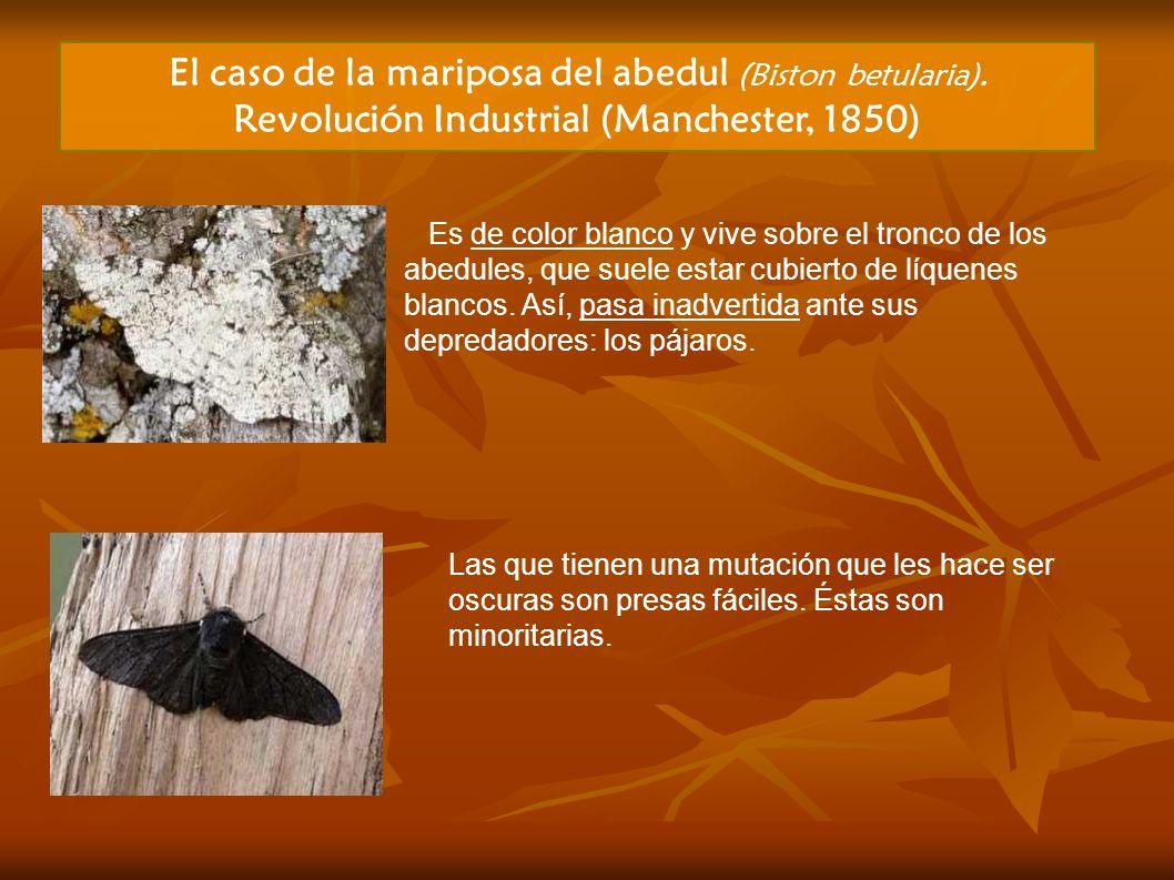 El caso de la mariposa del abedul (Biston betularia).