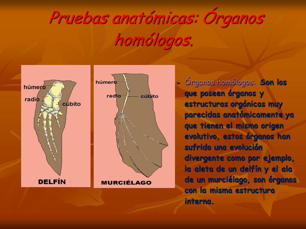 Pruebas anatómicas: Órganos homólogos.Pruebas anatómicas: Órganos homólogos.