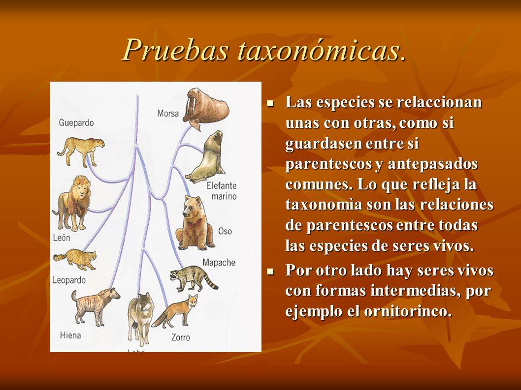 Las especies se relaccionan unas con otras, como si guardasen entre si parentescos y antepasados comunes.