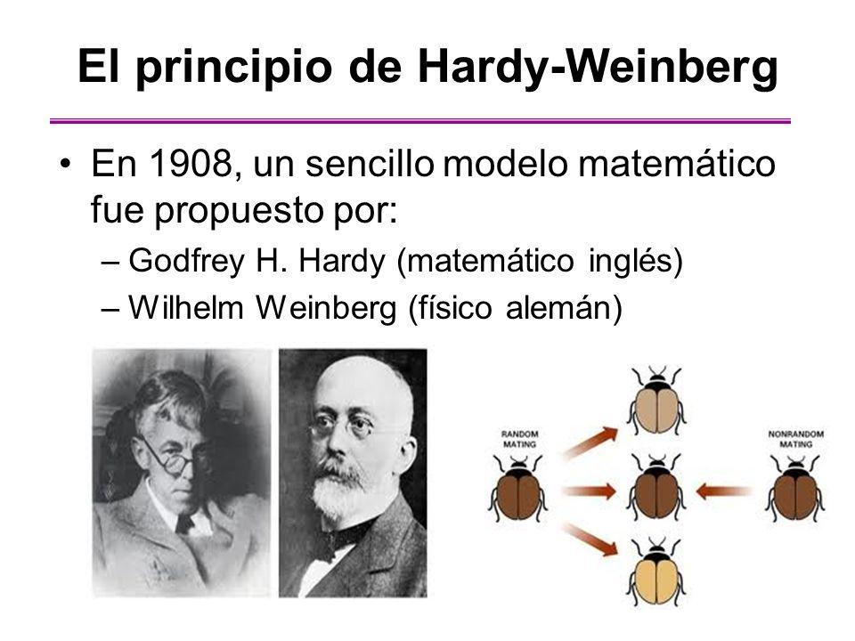 El principio de Hardy-Weinberg En 1908, un sencillo modelo matemático fue propuesto por: –Godfrey H. Hardy (matemático inglés) –Wilhelm Weinberg (físi