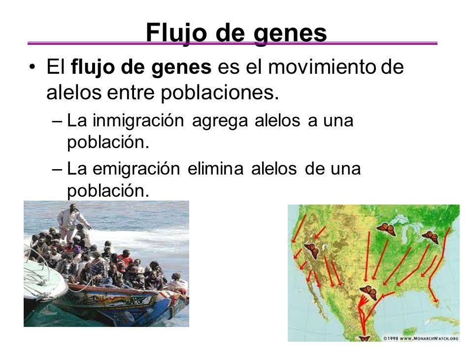 Flujo de genes El flujo de genes es el movimiento de alelos entre poblaciones. –La inmigración agrega alelos a una población. –La emigración elimina a