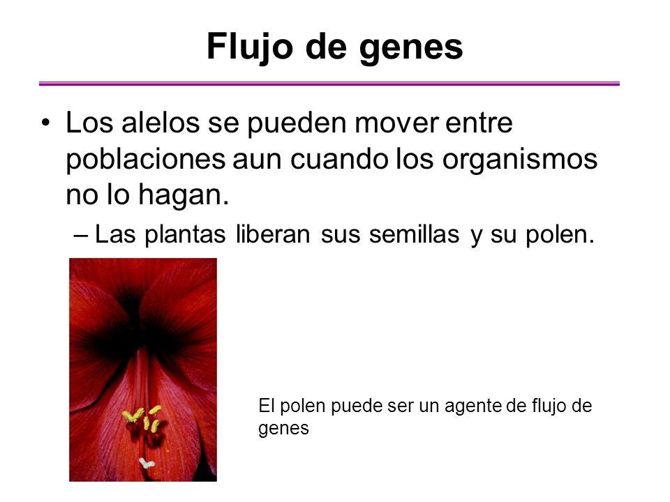 Los alelos se pueden mover entre poblaciones aun cuando los organismos no lo hagan. –Las plantas liberan sus semillas y su polen. Flujo de genes El po