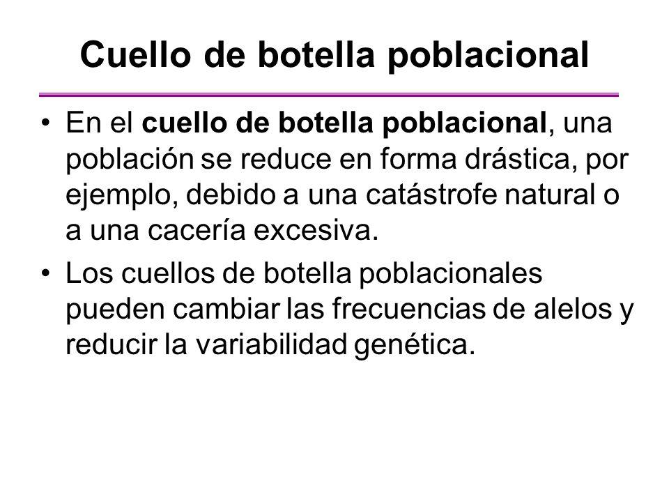 Cuello de botella poblacional En el cuello de botella poblacional, una población se reduce en forma drástica, por ejemplo, debido a una catástrofe nat