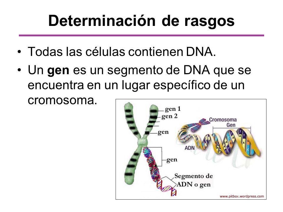 Determinación de rasgos Todas las células contienen DNA. Un gen es un segmento de DNA que se encuentra en un lugar específico de un cromosoma.