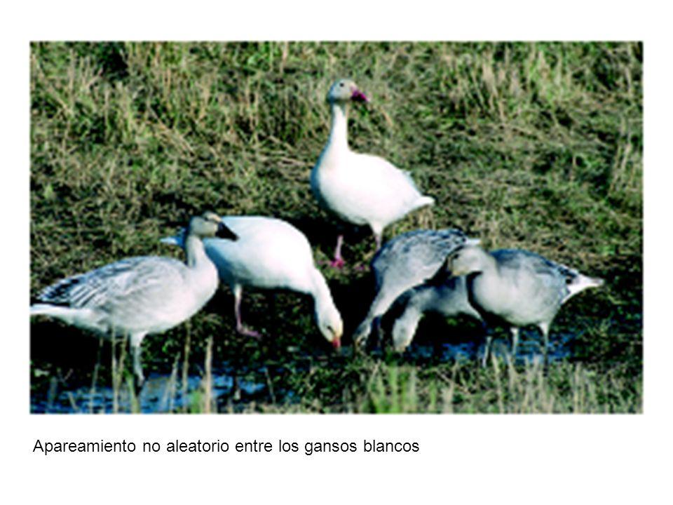 Apareamiento no aleatorio entre los gansos blancos