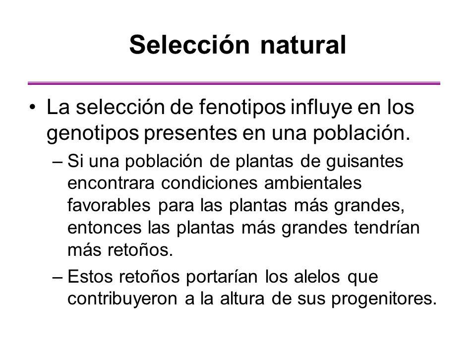 La selección de fenotipos influye en los genotipos presentes en una población. –Si una población de plantas de guisantes encontrara condiciones ambien