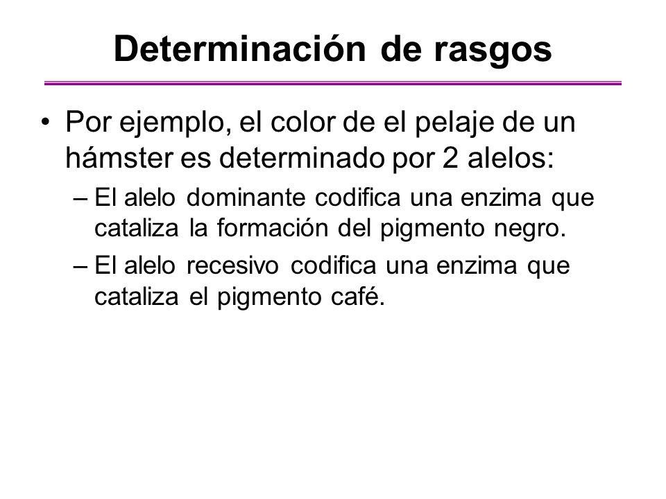 Si un hámster es homocigoto del alelo negro o es heterocigoto (un alelo negro y un alelo café), su pelaje contendrá el pigmento y será negro.