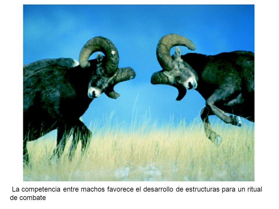 La competencia entre machos favorece el desarrollo de estructuras para un ritual de combate
