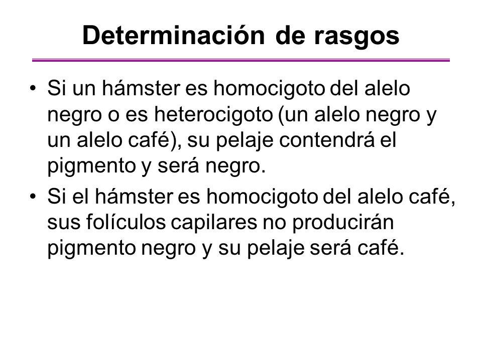 Si un hámster es homocigoto del alelo negro o es heterocigoto (un alelo negro y un alelo café), su pelaje contendrá el pigmento y será negro. Si el há