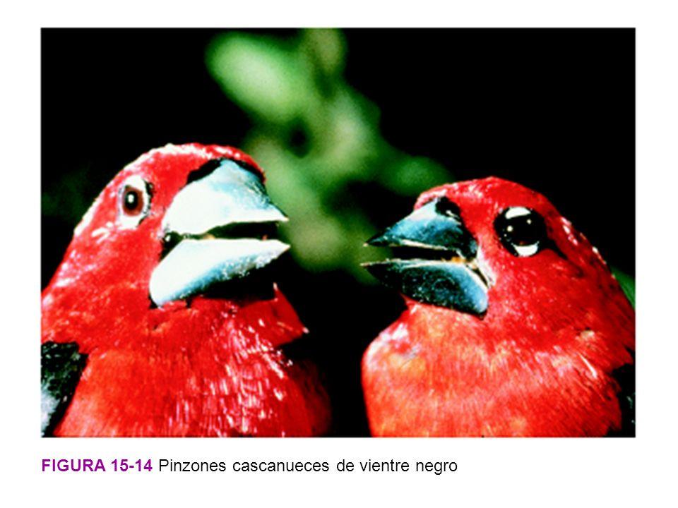 FIGURA 15-14 Pinzones cascanueces de vientre negro