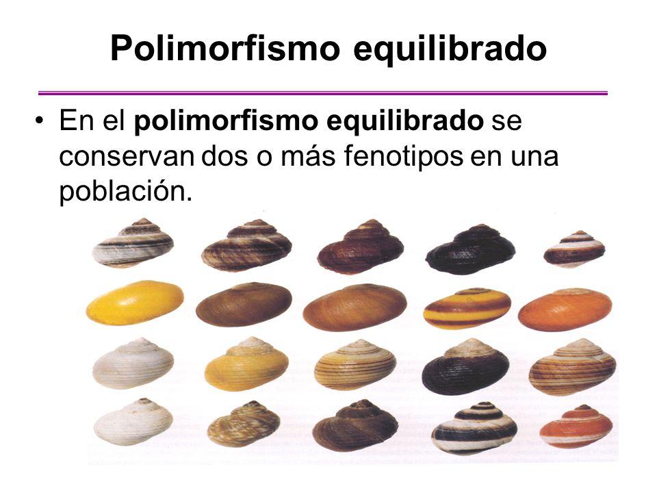 En el polimorfismo equilibrado se conservan dos o más fenotipos en una población. Polimorfismo equilibrado