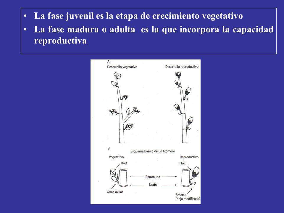 La fase juvenil es la etapa de crecimiento vegetativo La fase madura o adulta es la que incorpora la capacidad reproductiva