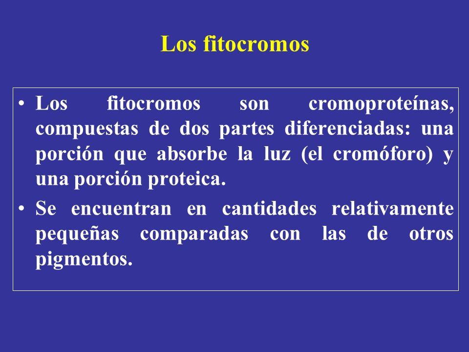 Los fitocromos Los fitocromos son cromoproteínas, compuestas de dos partes diferenciadas: una porción que absorbe la luz (el cromóforo) y una porción