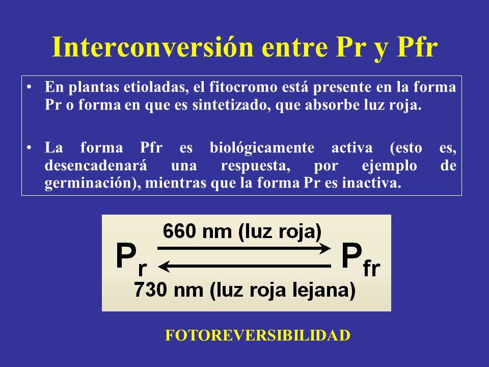 Interconversión entre Pr y Pfr En plantas etioladas, el fitocromo está presente en la forma Pr o forma en que es sintetizado, que absorbe luz roja. La
