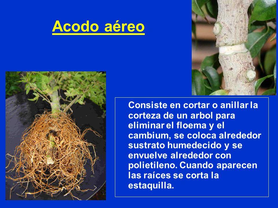 Acodo aéreo Consiste en cortar o anillar la corteza de un arbol para eliminar el floema y el cambium, se coloca alrededor sustrato humedecido y se env