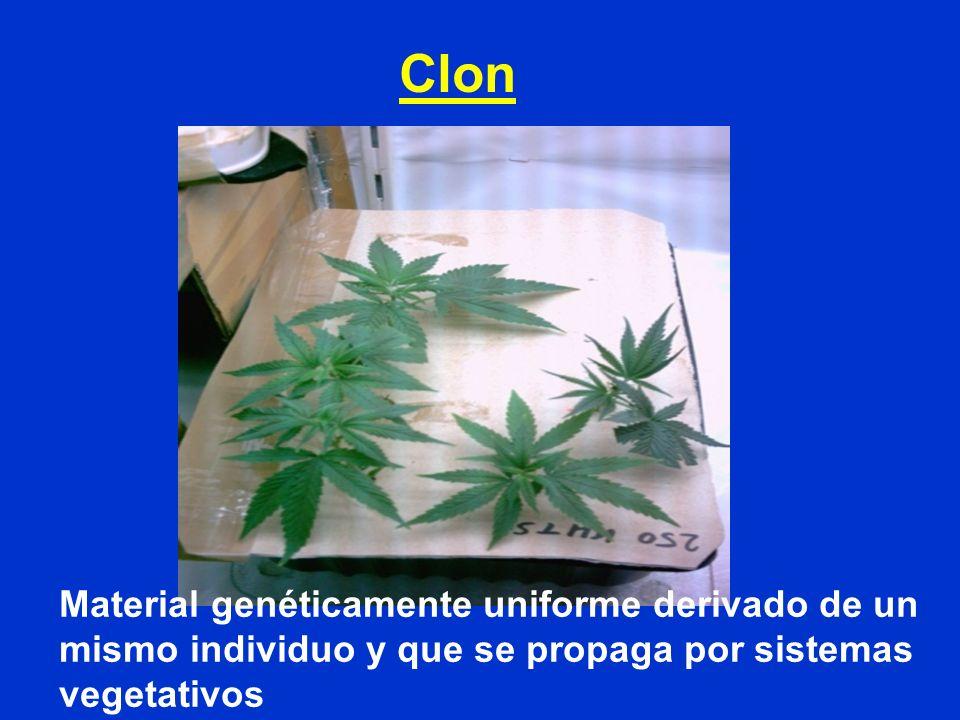 Clon Material genéticamente uniforme derivado de un mismo individuo y que se propaga por sistemas vegetativos