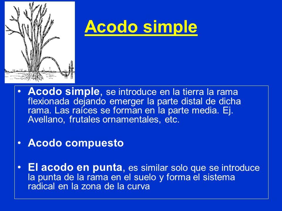Acodo simple Acodo simple, se introduce en la tierra la rama flexionada dejando emerger la parte distal de dicha rama. Las raíces se forman en la part